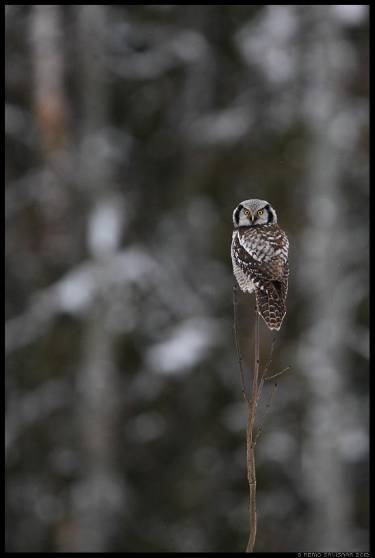 Vöötkakk, Hawk Owl, Surnia ulula, talv, lumine, snow, snowy, talikülaline, öökull