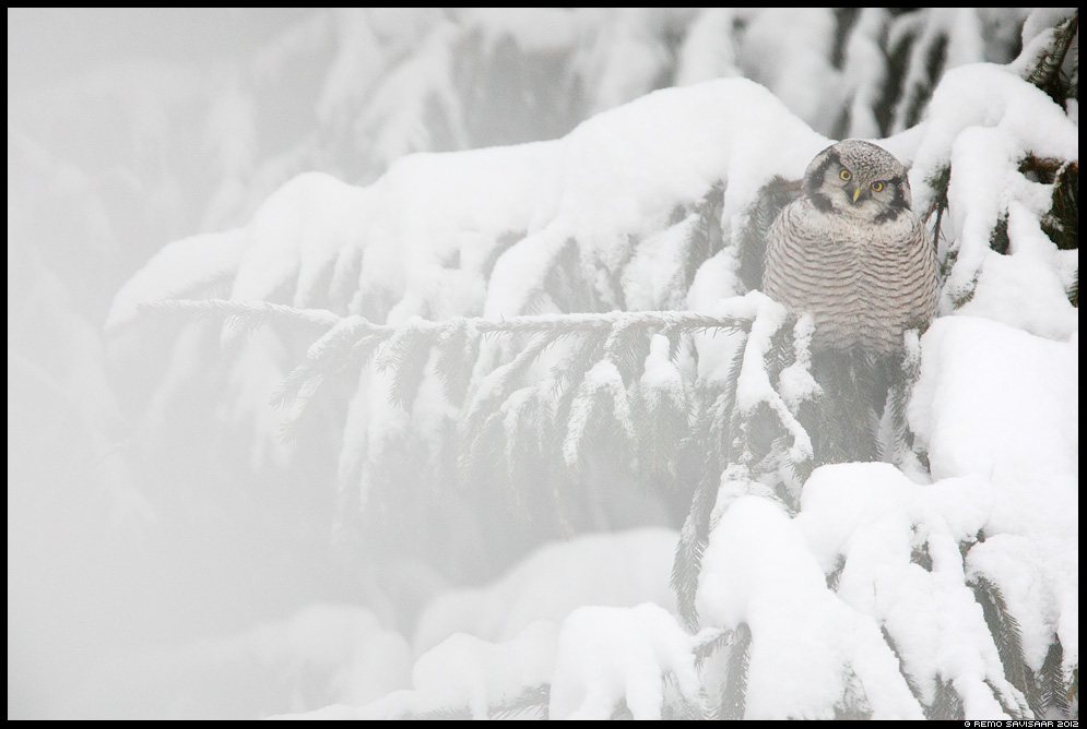 Vöötkakk, Hawk Owl, Surnia ulula, talv, lumine, snow, snowy, talikülaline, kuused, kuusk, öökull