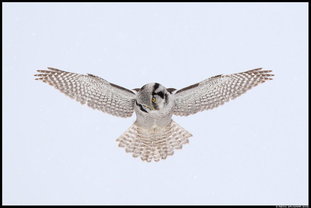 Vöötkakk, Hawk Owl, Surnia ulula rappelend Rappelennul Hovering hunting Remo Savisaar Eesti loodus Estonian Estonia Baltic nature wildlife photography photo blog loodusfotod loodusfoto looduspilt looduspildid