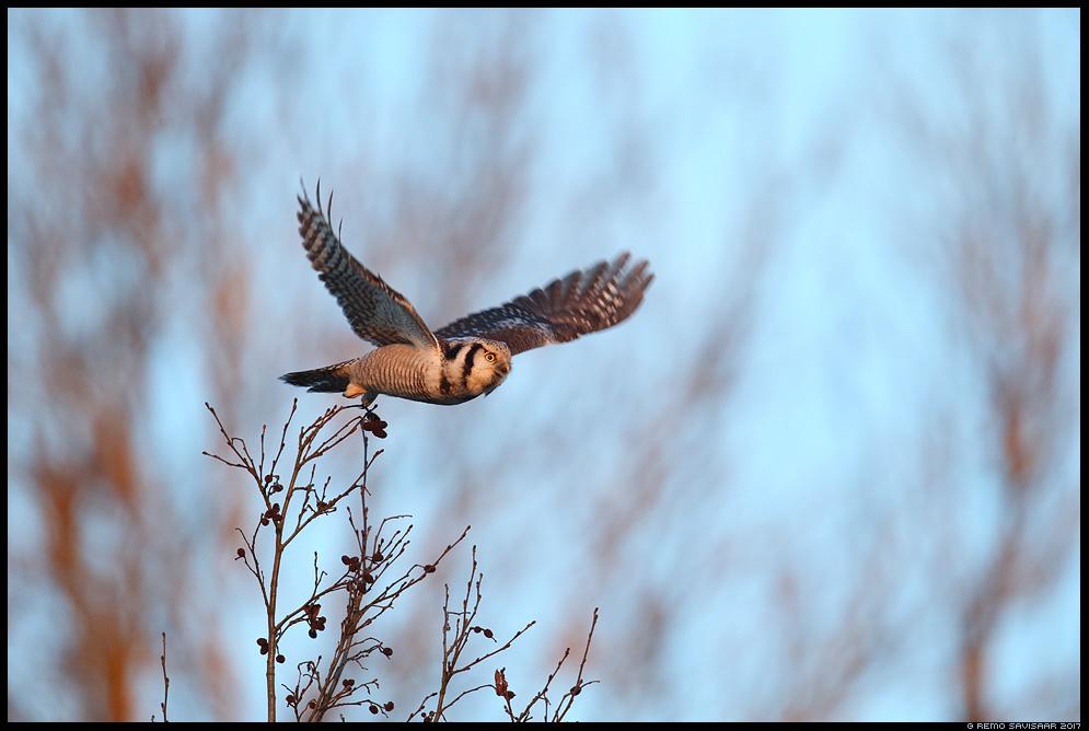 Vöötkakk, Hawk Owl, Surnia ulula Remo Savisaar Eesti loodus  Estonian Estonia Baltic nature wildlife photography photo blog loodusfotod loodusfoto looduspilt looduspildid