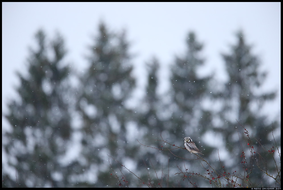 Vöötkakk, Hawk Owl, Surnia ulula kuusk kuused lumesadu fir trees snowfall Remo Savisaar Eesti loodus  Estonian Estonia Baltic nature wildlife photography photo blog loodusfotod loodusfoto looduspilt looduspildid