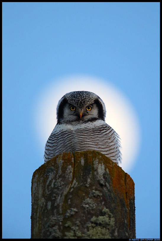 Vöötkakk, Hawk Owl, Surnia ulula tartumaa kuu moonlight õhtu hämar Remo Savisaar Eesti loodus Estonian Estonia Baltic nature wildlife photography photo blog loodusfotod loodusfoto looduspilt looduspildid landscape nature wild wildlife nordic