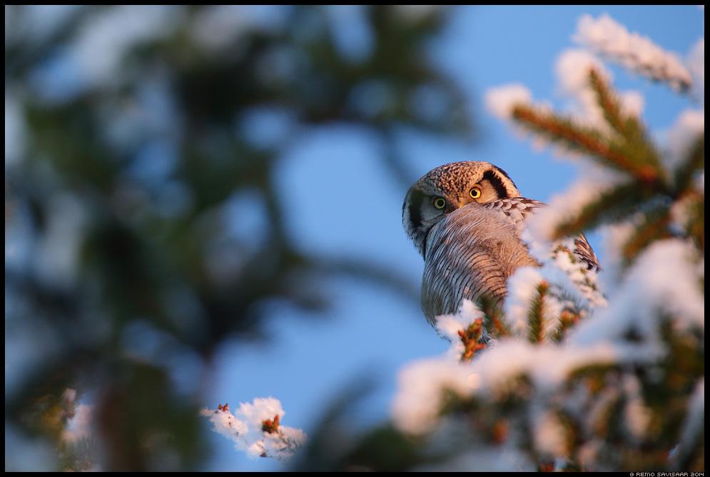 Vöötkakk, Hawk Owl, Surnia ulula härmas härmatis frost hoarfrost talv talvine Remo Savisaar Eesti loodus  Estonian Estonia Baltic nature wildlife photography photo blog loodusfotod loodusfoto looduspilt looduspildid