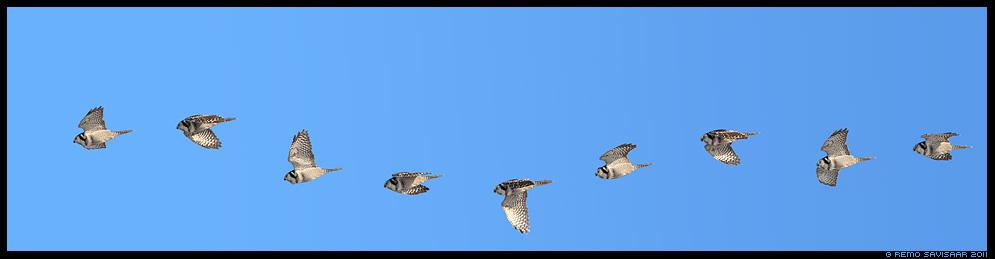 Vöötkakk, Hawk Owl, Surnia ulula, talikülaline