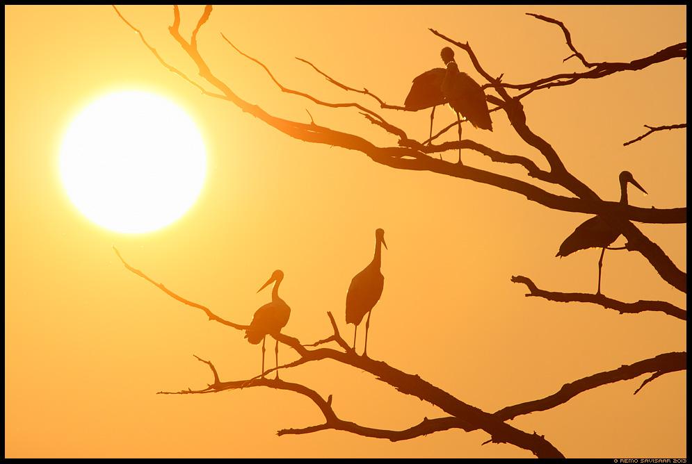 Valge-toonekurg, White Stork, Ciconia ciconia Remo Savisaar Eesti loodus  Estonian Estonia Baltic nature wildlife photography photo blog loodusfotod loodusfoto looduspilt looduspildid