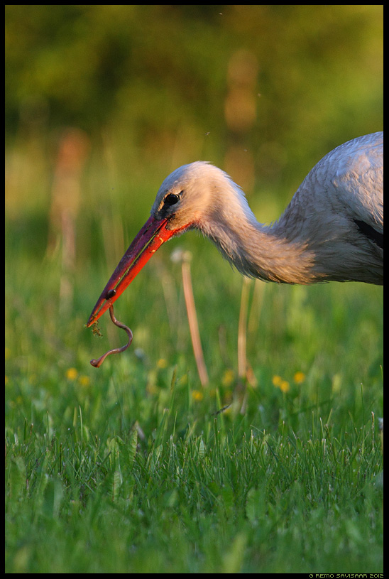 Valge-toonekurg, White Stork, Ciconia ciconia, Saagijahil, Hunting, vihmauss
