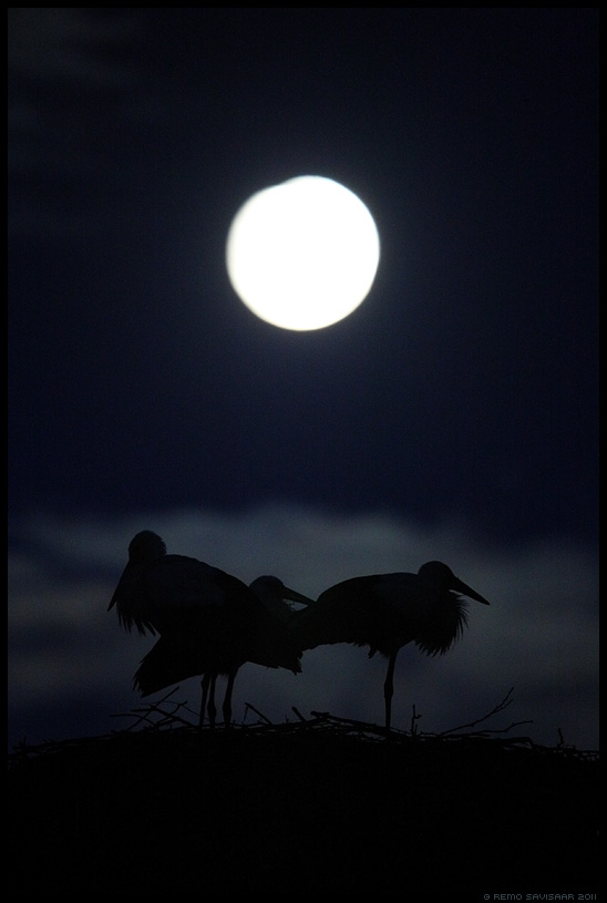 Valge-toonekurg, White Stork, Ciconia ciconia, Ööaeg, nighttime, Öövaikus, Silence of the Night, Suveõhtu, Summer evening, kuu, moon, suvi, meeleolu, öö, hämar, moonlight, kuuvalgel, täiskuu, full moon