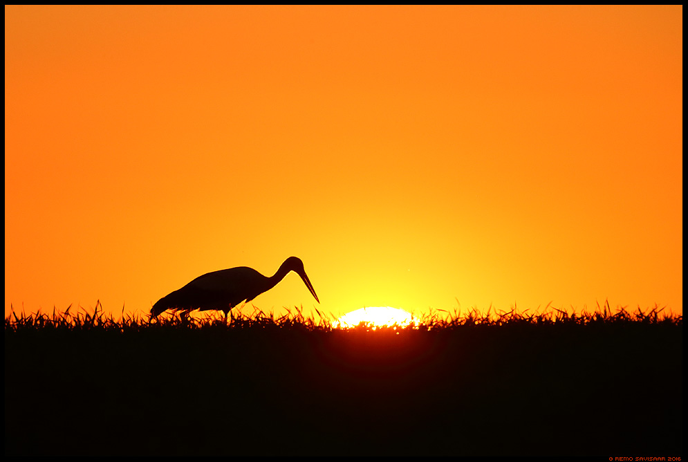 Valge-toonekurg, White Stork, Ciconia ciconia päikeseloojang sunset siluett silhouette Remo Savisaar Eesti loodus  Estonian Estonia Baltic nature wildlife photography photo blog loodusfotod loodusfoto looduspilt looduspildid