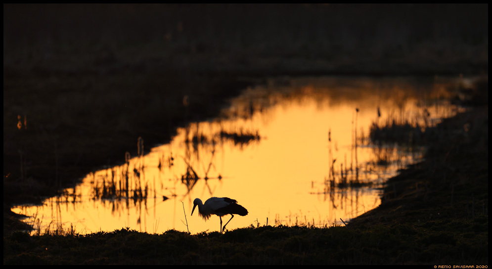 Valge-toonekurg, White Stork, Ciconia ciconia päikesetõus sunrise siluett silhouette Remo Savisaar Eesti loodus  Estonian Estonia Baltic nature wildlife photography photo blog loodusfotod loodusfoto looduspilt looduspildid