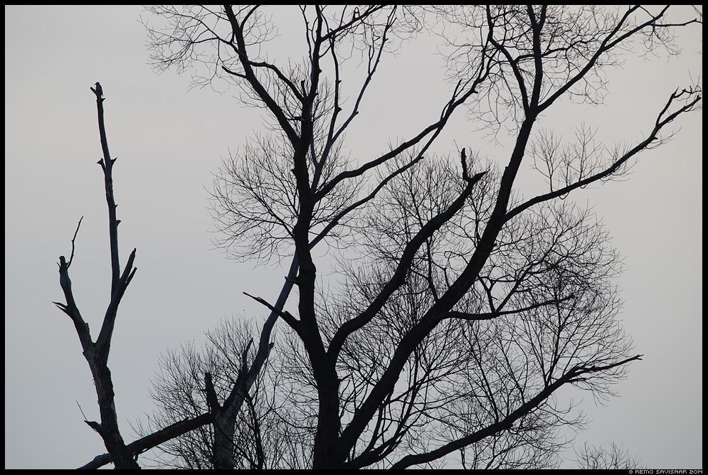 Valgeselg-kirjurähn, White-backed Woodpecker, Dendrocopos leucotos  paju salix pajupuu Remo Savisaar Eesti loodus  Estonian Estonia Baltic nature wildlife photography photo blog loodusfotod loodusfoto looduspilt looduspildid