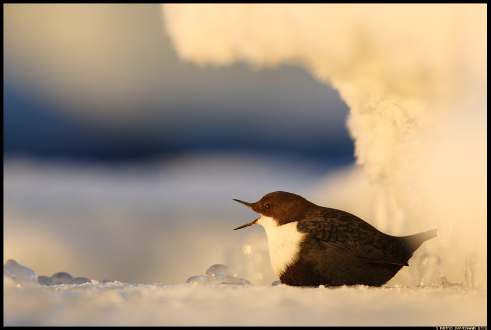 Vesipapp, Dipper, Cinclus cinclus talv talvine Remo Savisaar Eesti loodus  Estonian Estonia Baltic nature wildlife photography photo blog loodusfotod loodusfoto looduspilt looduspildid