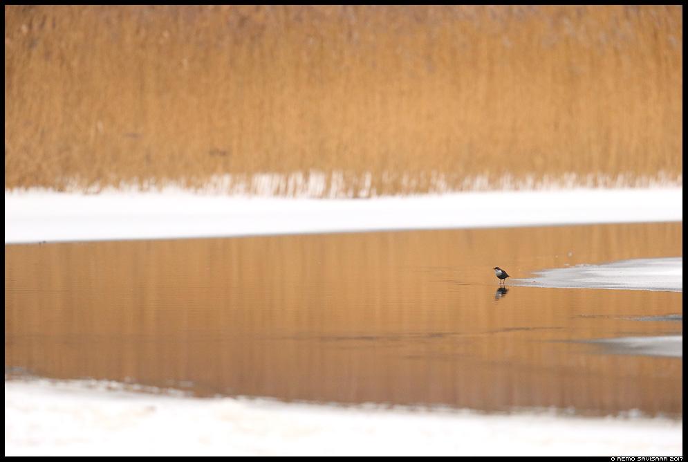 Vesipapp, Dipper, Cinclus cinclus keskkond minimalism habitat environment jõgi river pilliroog Remo Savisaar Eesti loodus  Estonian Estonia Baltic nature wildlife photography photo blog loodusfotod loodusfoto looduspilt looduspildid