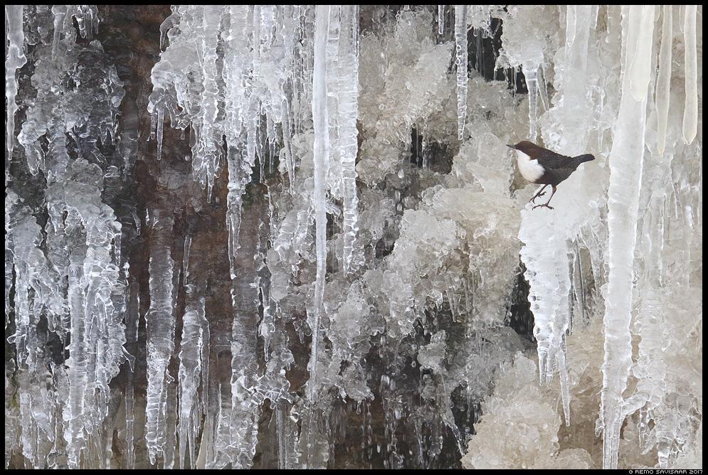 Vesipapp, Dipper, Cinclus cinclus jääpurikad ice keskkond habitat environment jõgi river juga jõgi waterfall Remo Savisaar Eesti loodus  Estonian Estonia Baltic nature wildlife photography photo blog loodusfotod loodusfoto looduspilt looduspildid