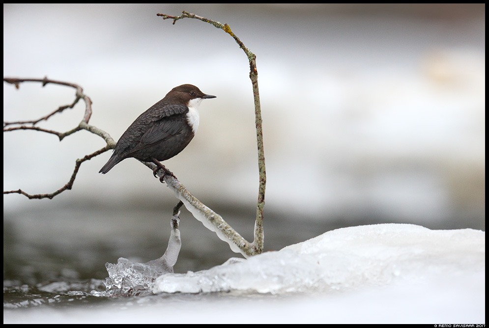 Vesipapp, Dipper, Cinclus cinclus jääpurikad jõgi river pilliroog Remo Savisaar Eesti loodus  Estonian Estonia Baltic nature wildlife photography photo blog loodusfotod loodusfoto looduspilt looduspildid
