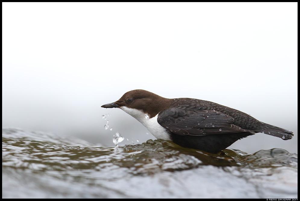 Vesipapp, Dipper, Cinclus cinclus  Remo Savisaar Eesti loodus  Estonian Estonia Baltic nature wildlife photography photo blog loodusfotod loodusfoto looduspilt looduspildid
