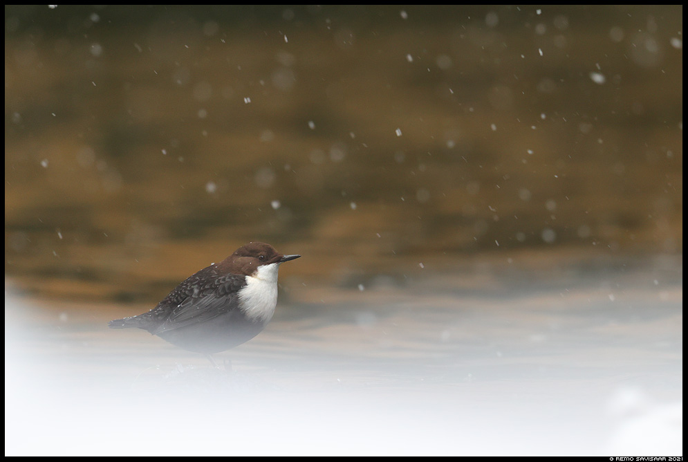 Vesipapp, Dipper, Cinclus cinclus Remo Savisaar Eesti loodus  Estonian Estonia Baltic nature wildlife photography photo blog loodusfotod loodusfoto looduspilt looduspildid