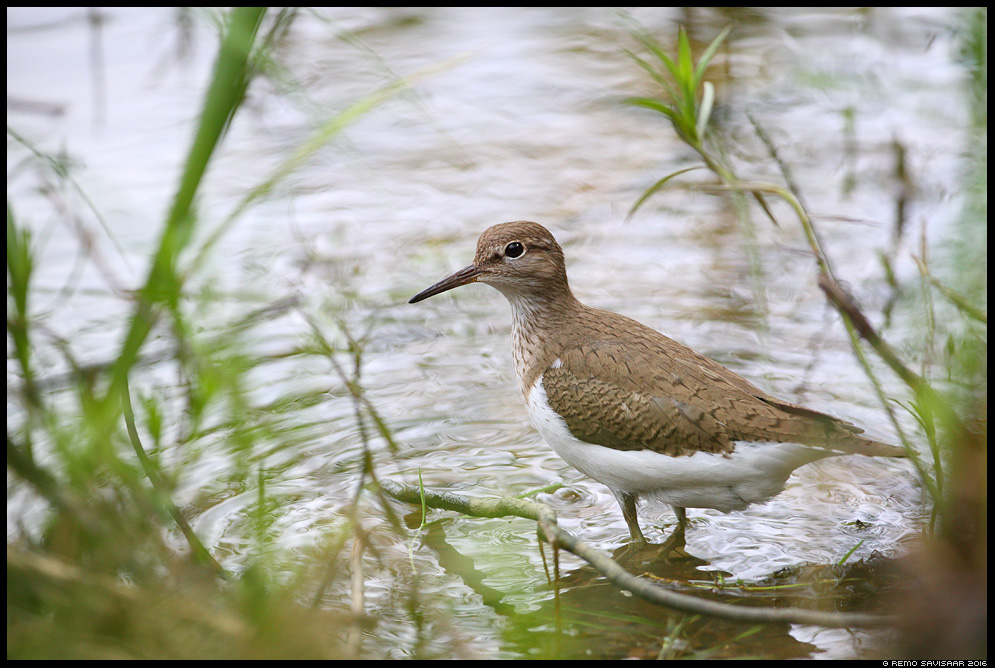 Vihitaja, Common Sandpiper, Actitis hypoleucos  Remo Savisaar Eesti loodus  Estonian Estonia Baltic nature wildlife photography photo blog loodusfotod loodusfoto looduspilt looduspildid