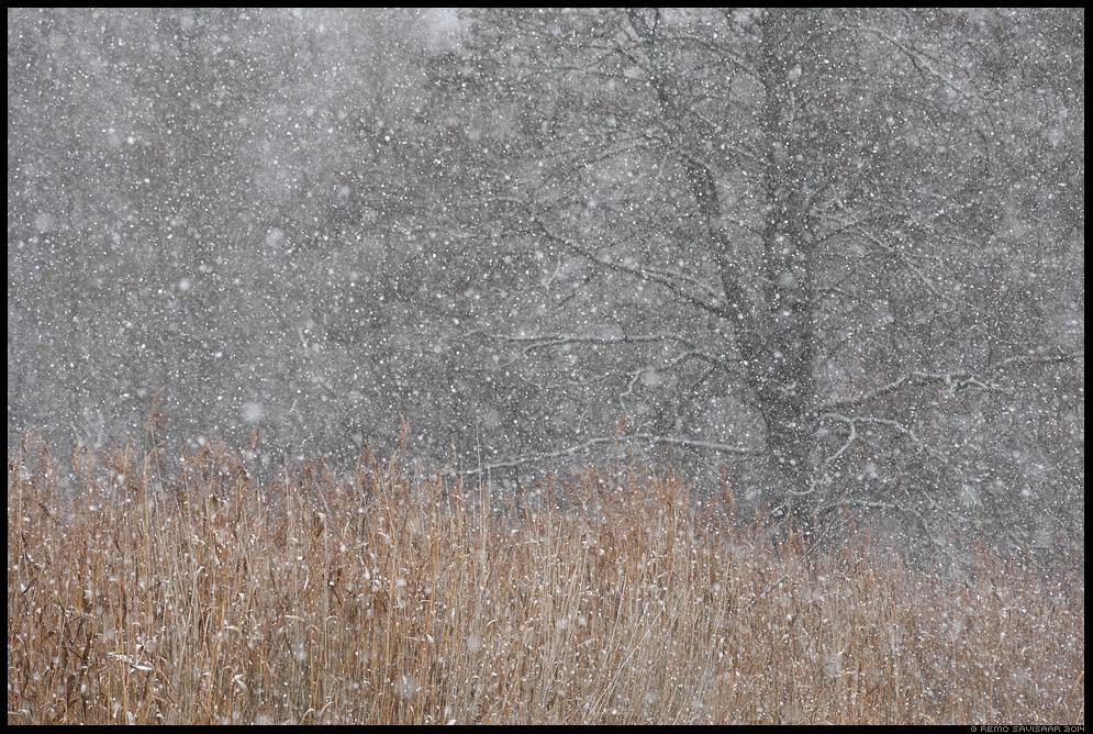 Lumesadu, Snowfall Remo Savisaar Eesti loodus  Estonian Estonia Baltic nature wildlife photography photo blog loodusfotod loodusfoto looduspilt looduspildid