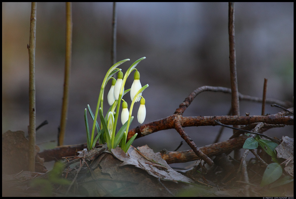 Lumikelluke, Snowdrops, Galanthus nivalis  kured ränne migration rändel kevad lumi Remo Savisaar Eesti loodus Estonian Estonia Baltic nature wildlife photography photo blog loodusfotod loodusfoto looduspilt looduspildid