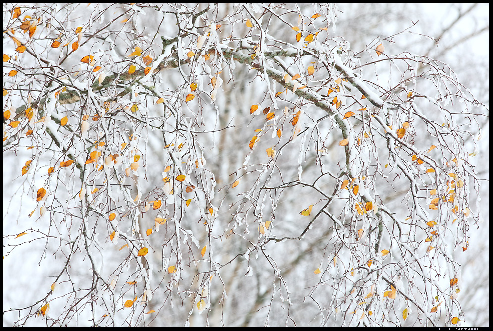 Sügistalve ilu, Beauty of the Fall Winter lumine snowfall kask birch kaselehed sügis autumn fall Remo Savisaar Eesti loodus  Estonian Estonia Baltic nature wildlife photography photo blog loodusfotod loodusfoto looduspilt looduspildid
