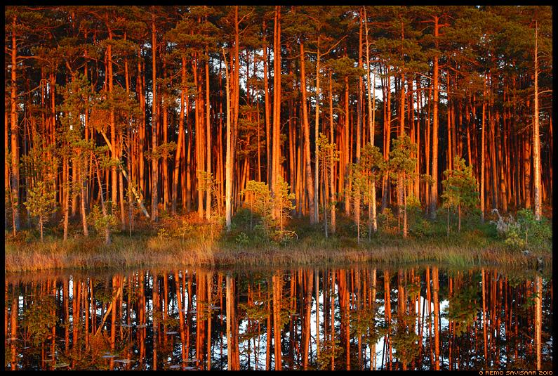 Õhtuvalguses - Männimets, Pine forest, puud, peegeldus, raba, rabamännid, päikeseloojang, õhtupuna