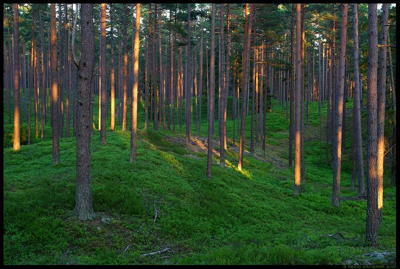Männimets, Pine forest