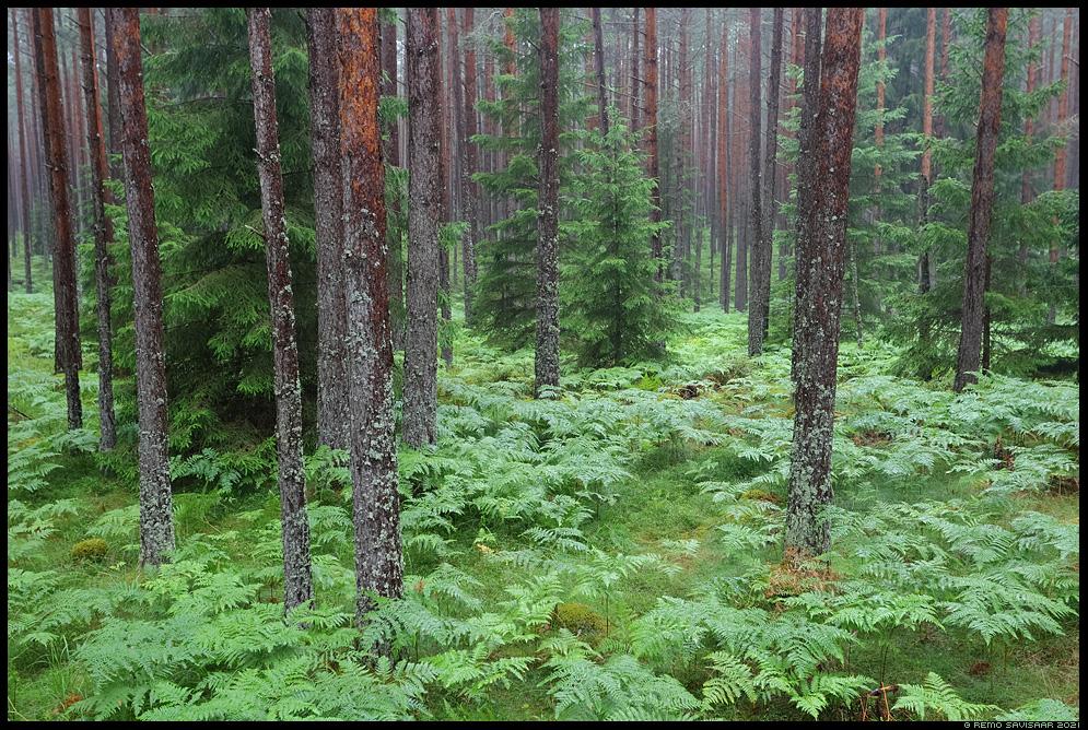 Aken männimetsa, Window to the Pine Forest sõnajalad Remo Savisaar Eesti loodus  Estonian Estonia Baltic nature wildlife photography photo blog loodusfotod loodusfoto looduspilt looduspildid