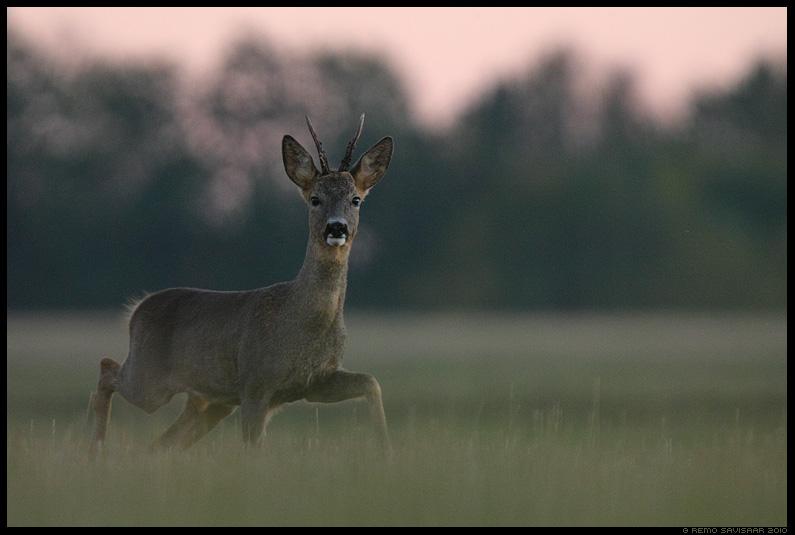 Metskits, Roe deer, Capreolus capreolus, sokk, buck, hämar, õhtu, metsloom