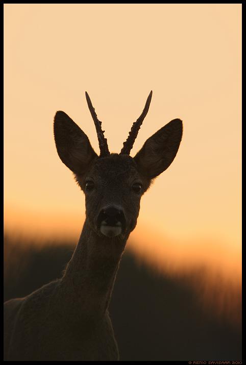 Metskits, Roe deer, Capreolus capreolus, sokk, portree, portrait, hämar, õhtu, metsloom