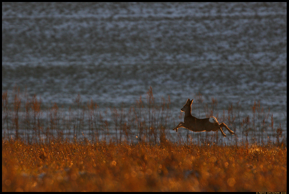 Metskits, Roe deer, Capreolus capreolus