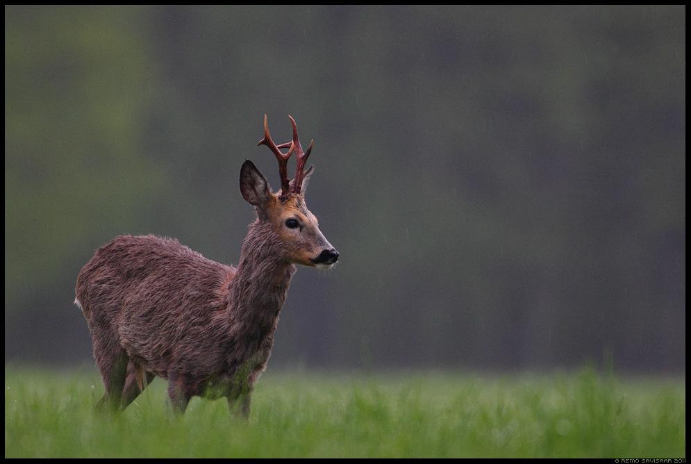 Metskits, Roe deer, Capreolus capreolus, kevad, rohelus, märg, sajune, sajab, vihmasadu, läänemaa, matsalu rahvuspark