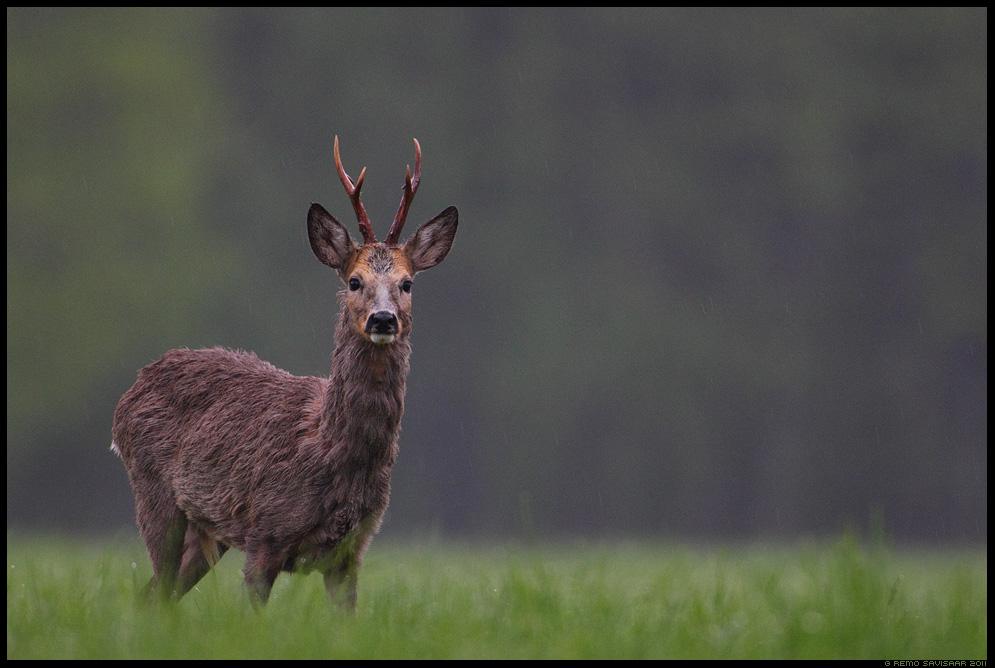 Metskits, Roe deer, Capreolus capreolus, sokk, roe buck, sarvik, kevad, sajune, sajab, vihmasadu,rohelus, märg, läänemaa, matsalu rahvuspark