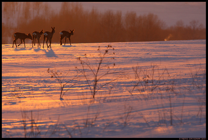 Metskits, Roe deer, Capreolus capreolus, htu, meeleolu, pikeseloojang, sunset