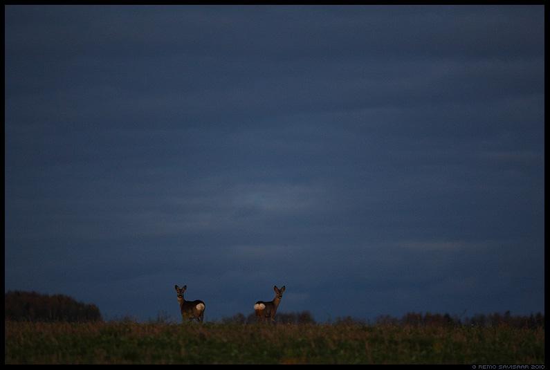 Metskits, Roe deer, Capreolus capreolus, hämar, õhtu, gloomy, evening