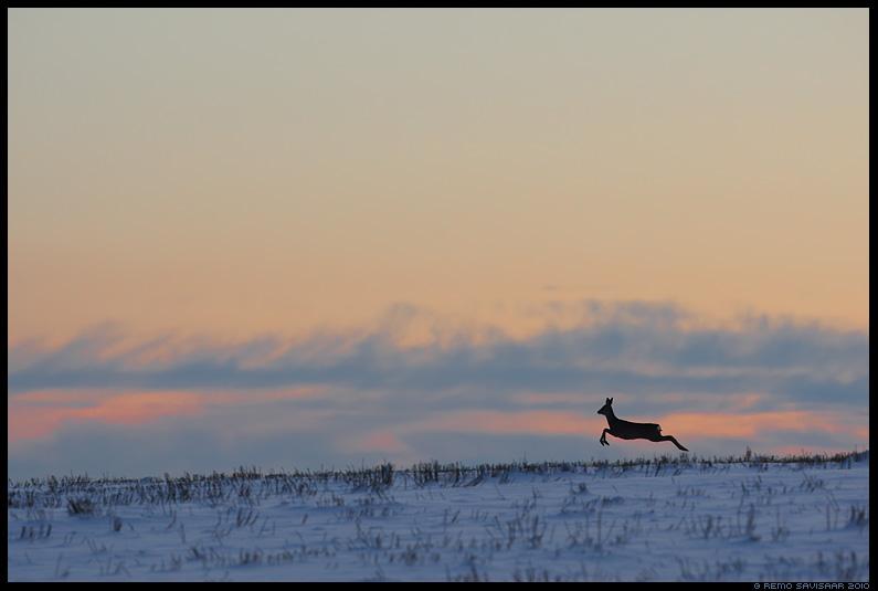 Metskits, Roe deer, Capreolus capreolus, talv, lumi, winter, snow