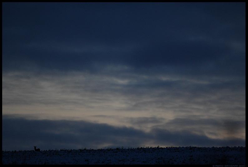 Metskits, Roe deer, Capreolus capreolus, hämar, pime, õhtu, meeleolu, dim, gloomy, night