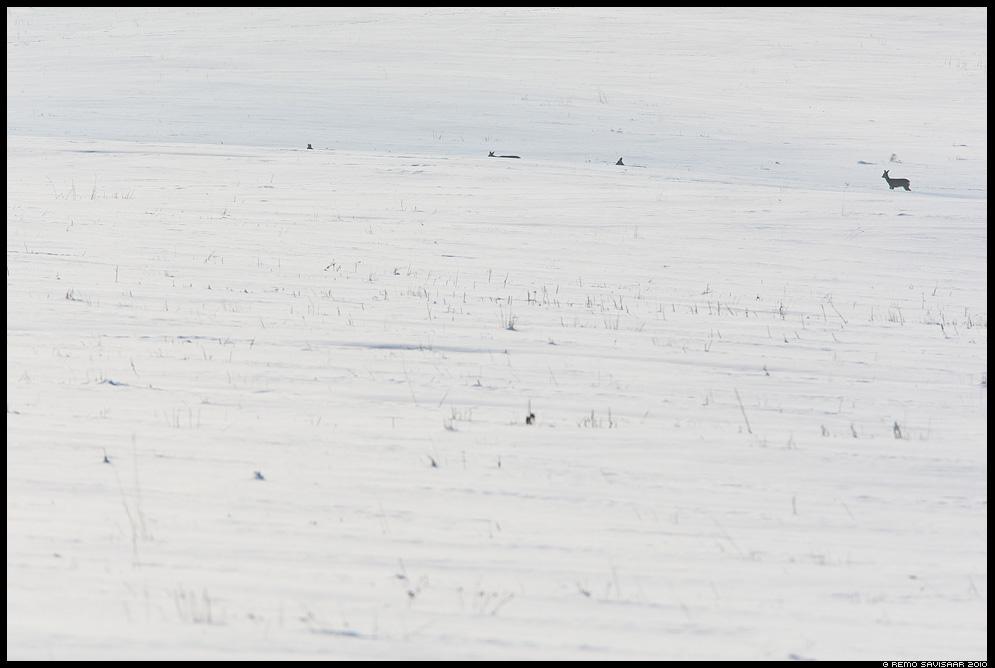 Metskits, Roe deer, Capreolus capreolus Külmale maale, To the Cold Land Remo Savisaar Eesti loodus  Estonian Estonia Baltic nature wildlife photography photo blog loodusfotod loodusfoto looduspilt looduspildid