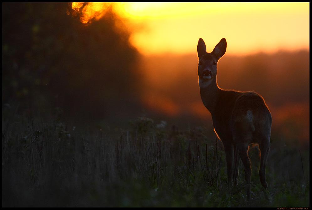 Metskits, Roe deer, Capreolus capreolus, sügis, meeleolu, sunset, päikeseloojang, magus õhtuvalgus, magusas õhtuvalguses