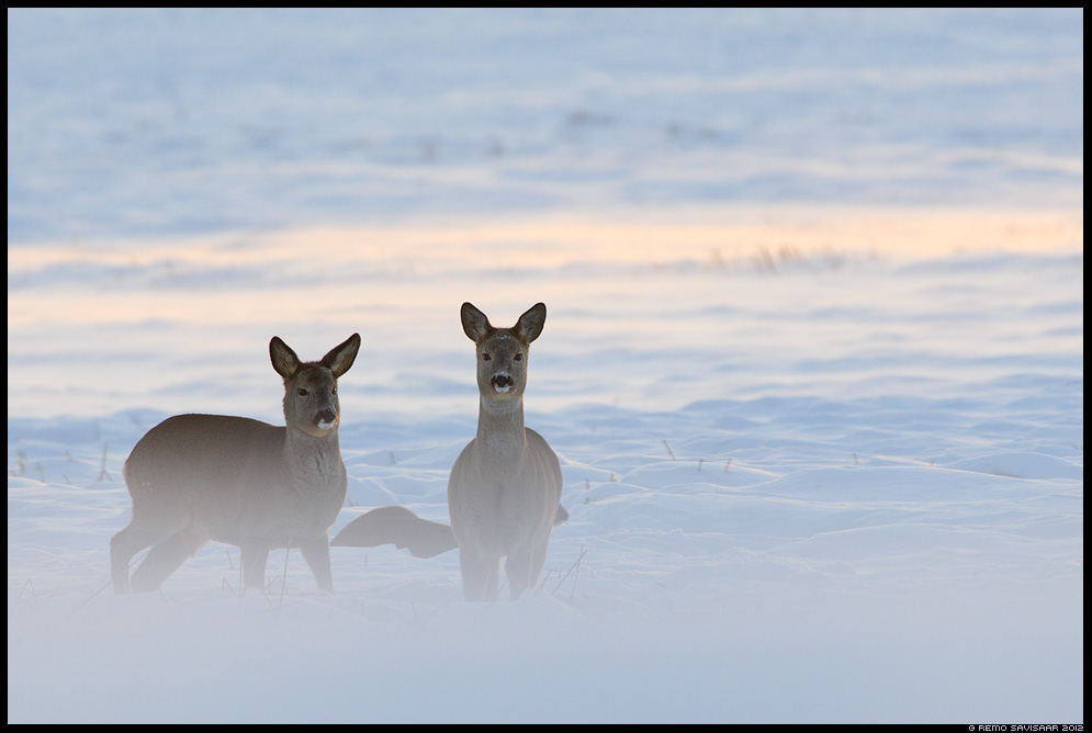 Metskits, Roe deer, Capreolus capreolus talv talvine tuisk lumetuisk snow blizzard winter pikeseloojang sunset Remo Savisaar Eesti loodus  Estonian Estonia Baltic nature wildlife photography photo blog loodusfotod loodusfoto looduspilt looduspildid 