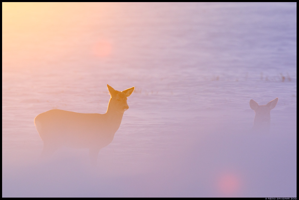 Metskits, Roe deer, Capreolus capreolus talv talvine winter pikeseloojang sunset Remo Savisaar Eesti loodus  Estonian Estonia Baltic nature wildlife photography photo blog loodusfotod loodusfoto looduspilt looduspildid 