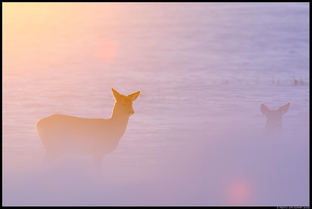 Metskits, Roe deer, Capreolus capreolus talv talvine winter päikeseloojang sunset Remo Savisaar Eesti loodus  Estonian Estonia Baltic nature wildlife photography photo blog loodusfotod loodusfoto looduspilt looduspildid