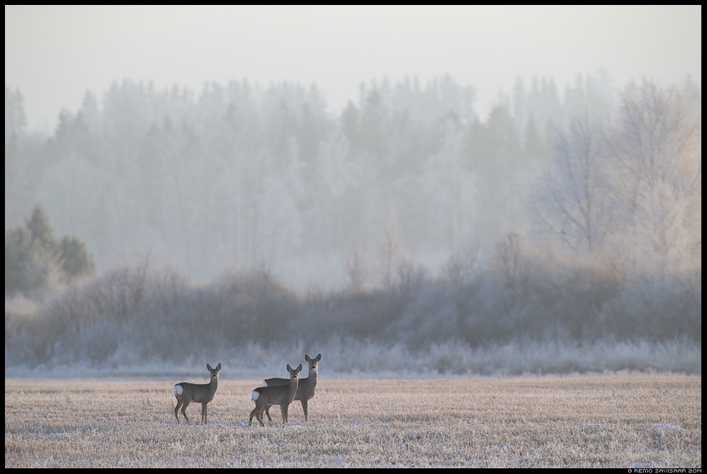 Metskits, Roe deer, Capreolus capreolus härmas härmatis frost frosty Remo Savisaar Eesti loodus  Estonian Estonia Baltic nature wildlife photography photo blog loodusfotod loodusfoto looduspilt looduspildid