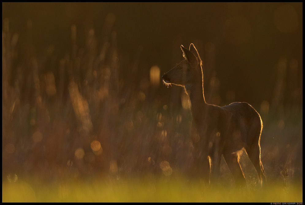 Metskits, Roe deer, Capreolus capreolus päikeseloojang sunset kontra Remo Savisaar Eesti loodus  Estonian Estonia Baltic nature wildlife photography photo blog loodusfotod loodusfoto looduspilt looduspildid