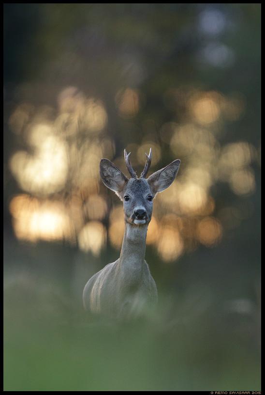 Metskits, Roe deer, Capreolus capreolus portree portrait päikeseloojang sunset Remo Savisaar Eesti loodus  Estonian Estonia Baltic nature wildlife photography photo blog loodusfotod loodusfoto looduspilt looduspildid