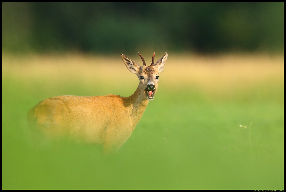 Metskits, Roe deer, Capreolus capreolus summer suvi Remo Savisaar Eesti loodus  Estonian Estonia Baltic nature wildlife photography photo blog loodusfotod loodusfoto looduspilt looduspildid
