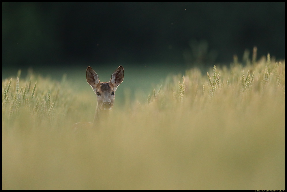 Metskits, Roe deer, Capreolus capreolus vili nisu wheat viljapõld Remo Savisaar Eesti loodus  Estonian Estonia Baltic nature wildlife photography photo blog loodusfotod loodusfoto looduspilt looduspildid