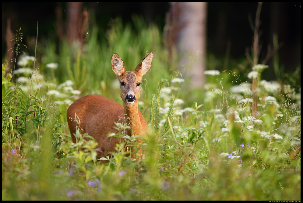 Metskits, Roe deer, Capreolus capreolus Remo Savisaar Eesti loodus  Estonian Estonia Baltic nature wildlife photography photo blog loodusfotod loodusfoto looduspilt looduspildid