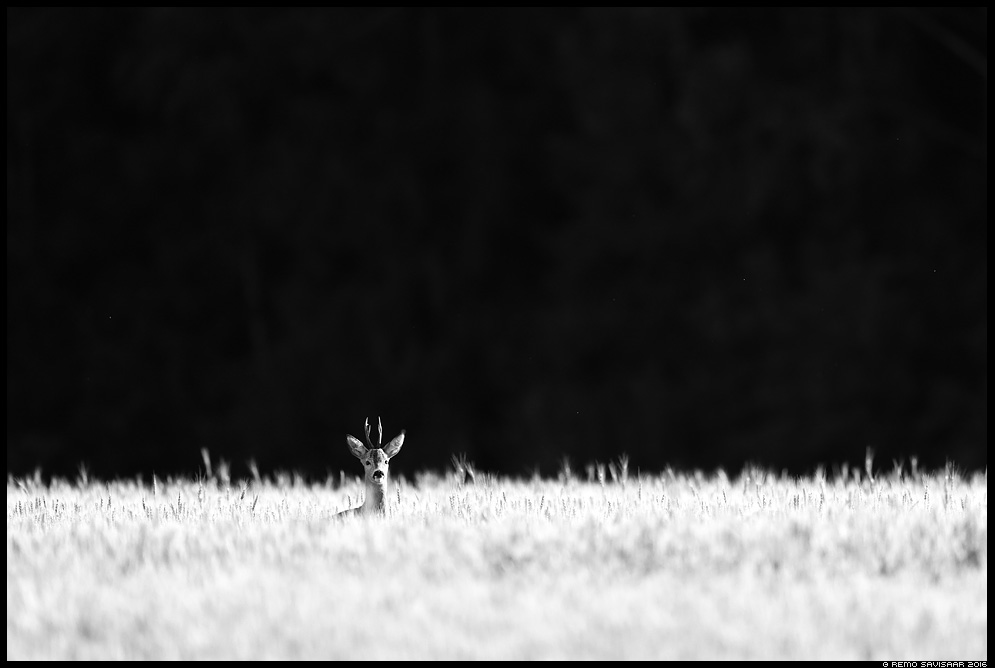 Metskits, Roe deer, Capreolus capreolus summer suvi mustvalge bw Remo Savisaar Eesti loodus  Estonian Estonia Baltic nature wildlife photography photo blog loodusfotod loodusfoto looduspilt looduspildid