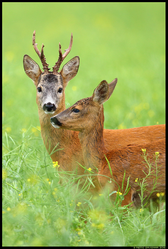 Metskits, Roe deer, Capreolus capreolus raps jooksuaeg summer suvi Remo Savisaar Eesti loodus  Estonian Estonia Baltic nature wildlife photography photo blog loodusfotod loodusfoto looduspilt looduspildid