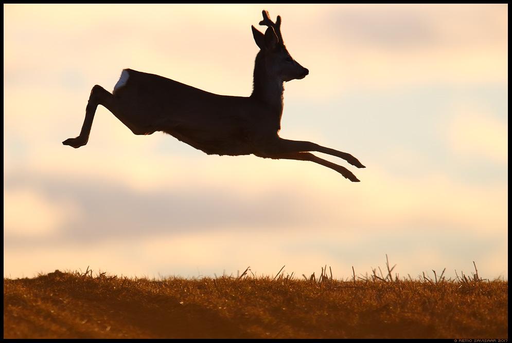 Metskits, Roe deer, Capreolus capreolus hüpe hüppel sokk flight leaping Remo Savisaar Eesti loodus  Estonian Estonia Baltic nature wildlife photography photo blog loodusfotod loodusfoto looduspilt looduspildid